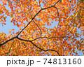 橙色のオオモミジの紅葉 74813160