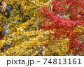 イチョウの黄葉をバックにカエデの紅葉 74813161