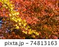 橙色のカエデの紅葉をバックにイチョウの黄葉 74813163
