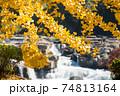 曽木の滝をバックにイチョウの黄葉 74813164