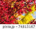 イチョウの黄葉をバックにカエデの紅葉のアップ 74813167