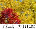 イチョウの黄葉をバックにカエデの紅葉 74813168