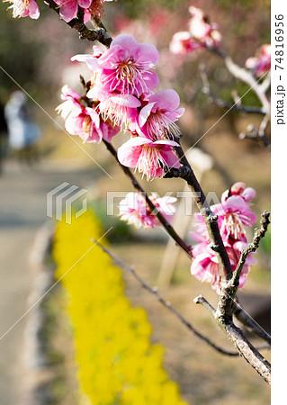 神戸・須磨離宮公園の梅林に咲く紅梅と菜の花 74816956