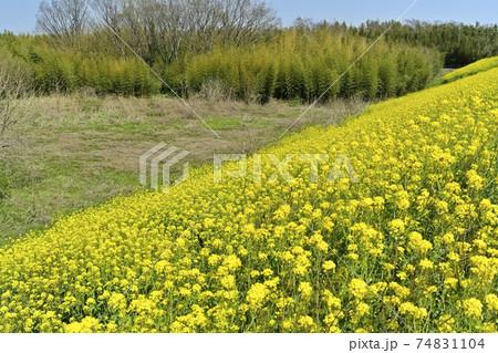 吉見町の荒川土手に群生して咲く菜の花 74831104