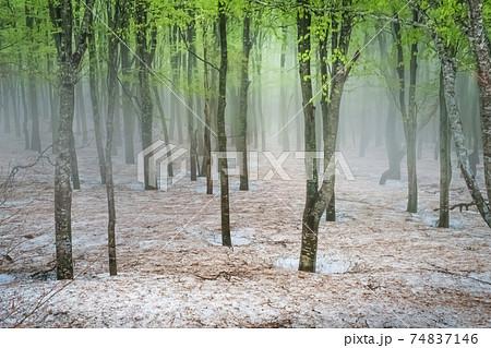 霧に包まれる幻想的で美しいブナ林 74837146
