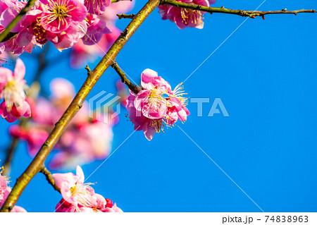松本城の梅の花と青空 【長野県】 74838963
