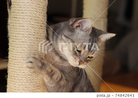 大好きな爪とぎに抱き着く猫のアメリカンショートヘアブルータビー 74842643
