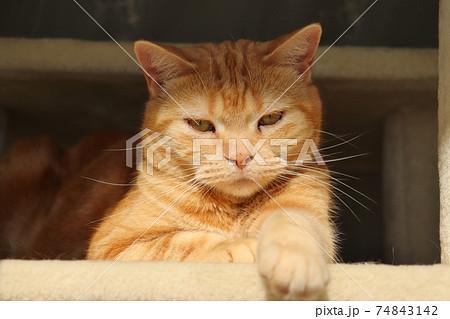怒ってむすっとした表情で見下ろす猫アメリカンショートヘアレッドタビー 74843142