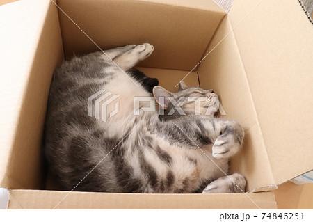 段ボール箱で仰向けで辛そうな格好で寝る猫アメリカンショートヘアブルータビー 74846251