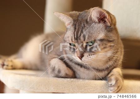 落ち込んだ雰囲気で下視線の猫アメリカンショートヘアブルータビー 74846566
