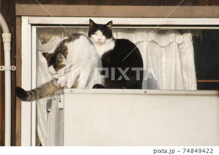 白と黒の猫と毛づくろいする猫(野良猫) 74849422