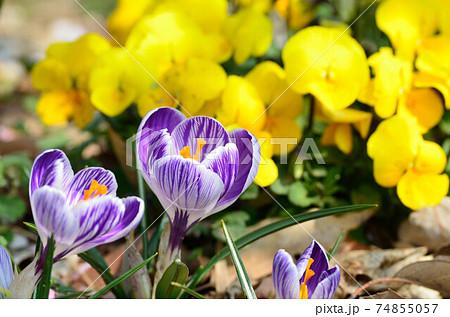 小さなチューリップみたいな紫色の花 74855057