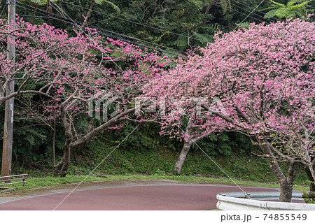 沖縄の桜の名所、八重岳の桜が満開 74855549