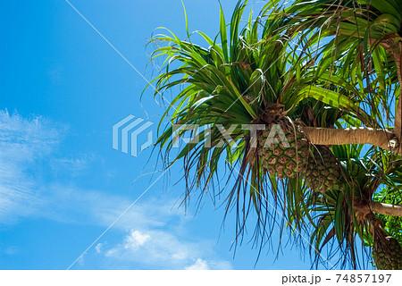 青空と南国になる植物のアダンの実 74857197