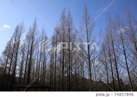 冬に枯れても悠然とそびえて魅力的なメタセコイアの並木(東屋あり) 74857846