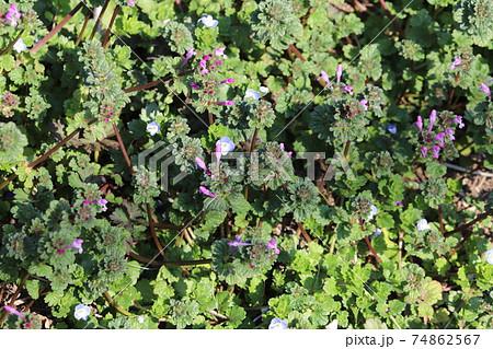 冬の野原に咲くオオイヌノフグリとホトケノザ 74862567