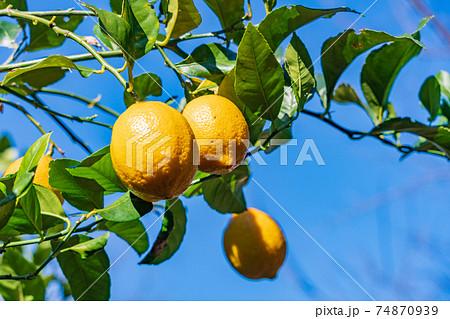 収穫時期のレモン 74870939