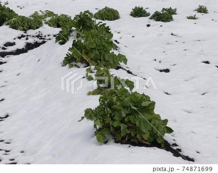 農業イメージ(農作物被害:雪害) 74871699