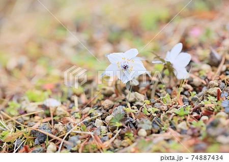 節分草の花 74887434