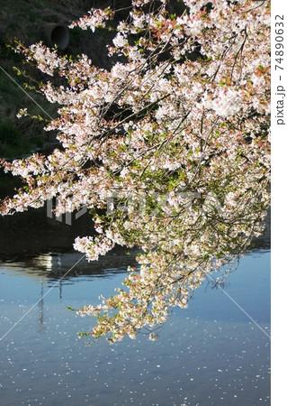 桜と水面 北須川・今出川の桜並木 74890632