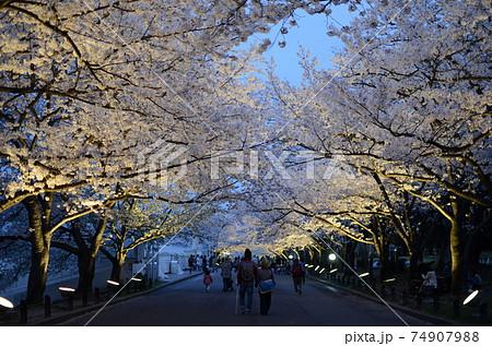 万博記念公園の夜桜のライトアップ 74907988