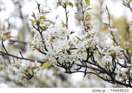若葉と同時に真っ白な花を咲かすヤマザクラ 74908820