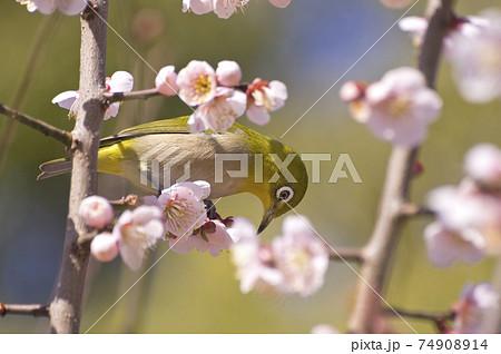 梅の花の蜜を吸うメジロ 74908914