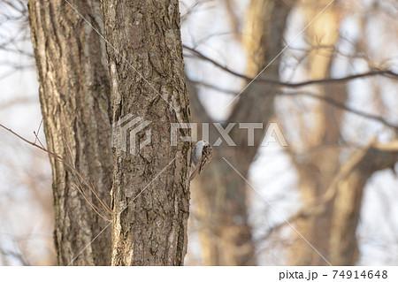 真冬の北海道の森、餌を探すキバシリ 74914648