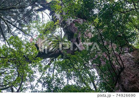 屋久島ヤクスギランドの屋久杉の森。着生木の紅葉がきれい 74926690