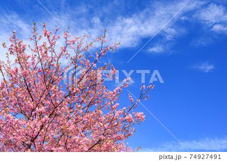 快晴の空と河津桜(入学・卒業イメージ) 74927491