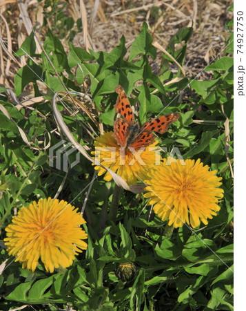 西洋蒲公英の黄色いポートに着地する蝶 74927750