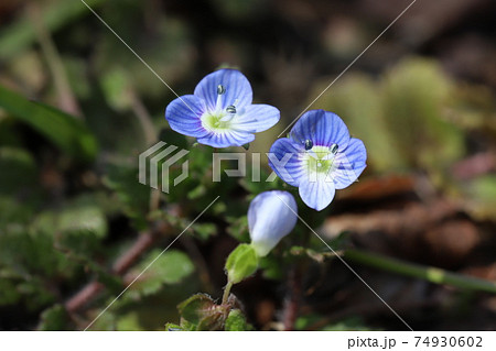 冬の野原に咲くオオイヌノフグリの青い花 74930602