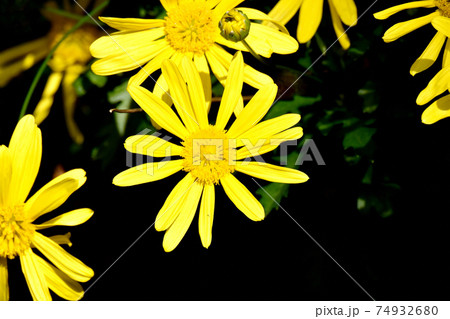 三鷹中原に咲く黄色いマーガレットコス(イエローエンジェル)の花 74932680