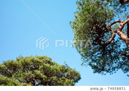 陽射しを浴びる松の木々と快晴の空 ライトトーン 74938851