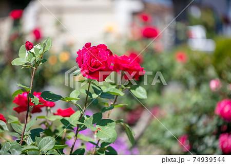 綺麗な庭で赤い薔薇が咲いている rose 74939544