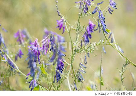紫の花 野原 背景素材 flower 74939649
