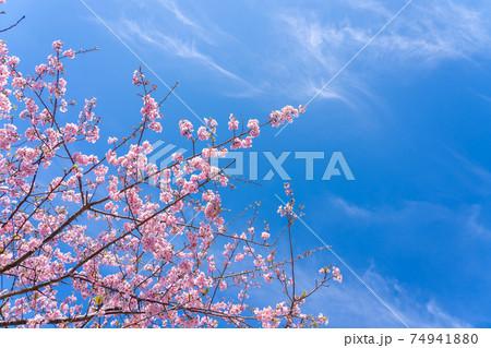 三重県松阪市 青空の映える笠松河津桜の枝 74941880