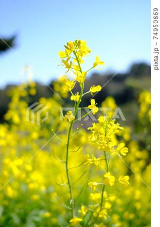 スッと伸びて咲いている2本の菜の花に焦点が当たった菜の花畑 74950869
