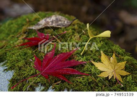 コケに落ちた赤や黄色のもみじとイチョウの葉のアップ 74951539