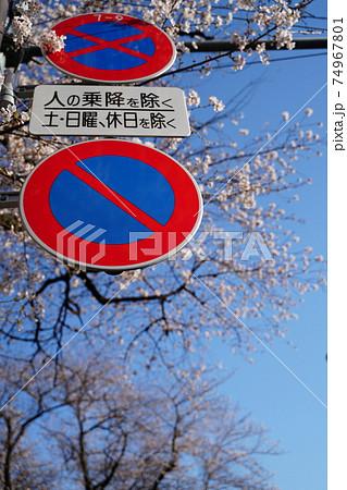 桜と駐停車禁止 74967801