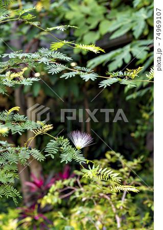 日本の温室で満開のカリアンドラ・スリナメンシス 74969107