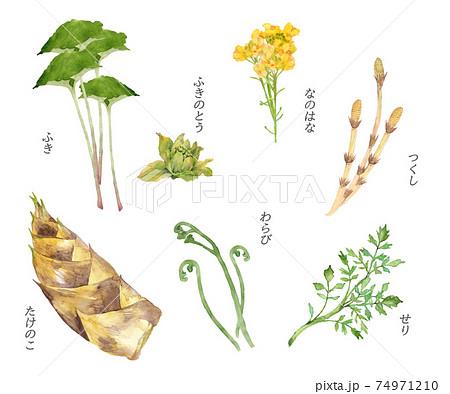 春の山菜の水彩画セット 74971210
