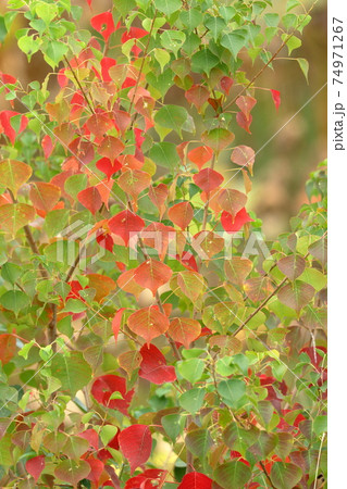 徐々に赤く色が変わり始めたナンキンハゼ 74971267