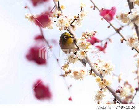 北野天満宮の梅とメジロ 『和風イメージ』(京都) 74971924