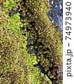 小さな小さな苔の一つ一つは花のよう 74973940