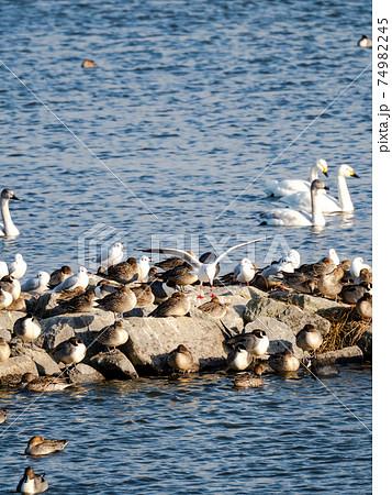 北浦の美しい白鳥とカモメと鴨の群れ 74982245