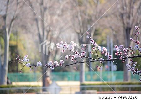 公園の並木と池をバックに咲くピンク色の梅の木 74988220