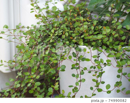 青々と茂った鉢植えのワイヤープランツ 74990082