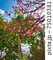 沖縄の南国植物と桜 75010381