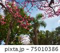 沖縄の南国植物と桜 75010386